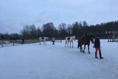 Tobra hobused